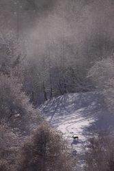 Chevreuil en hiver