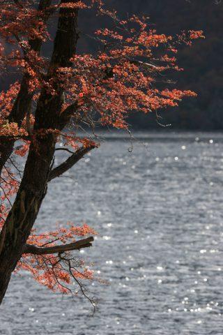 Coigue en automne