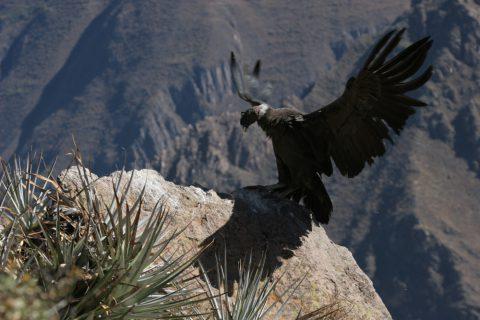 Condor dans le canyon de Colca