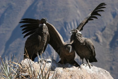 Condors dans le canyon de Colca
