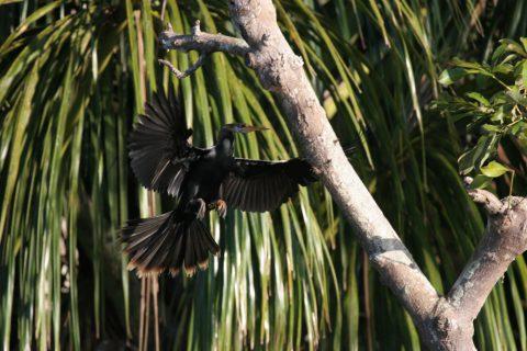 Cormoran dans la jungle