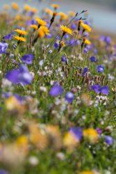 Fleurs à Salanfe