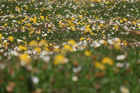 Fleurs au fond du lac de Salanfe