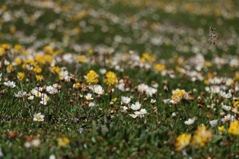 Fleurs - fond du lac de Salanfe