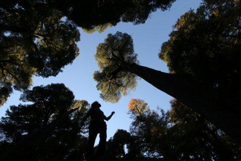 Forêt de coigues