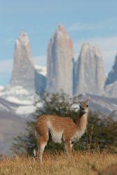 Guanaco et tours du Paine