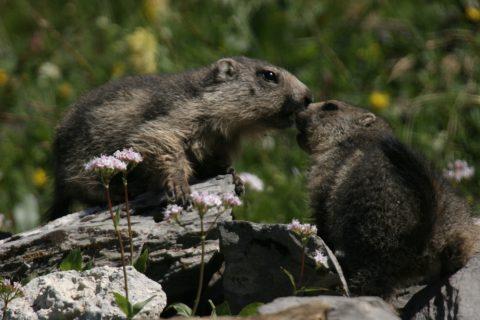 Marmottes qui se chamaillent