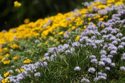 Mélange de fleurs - Salanfe