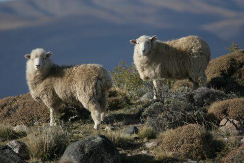 Moutons dans la pampa