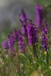 Orchis violette