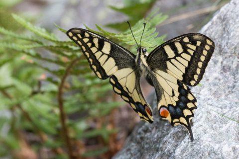 Papillon macaon