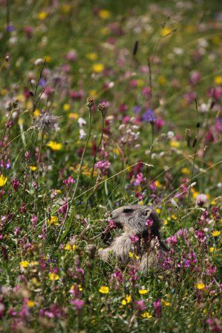 Petite marmotte dans un champ de fleurs