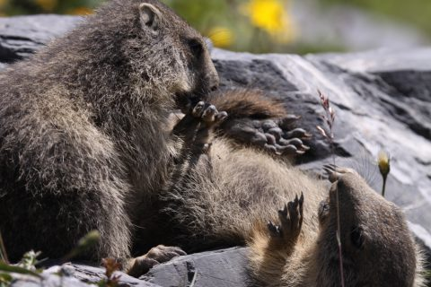 Petites marmottes