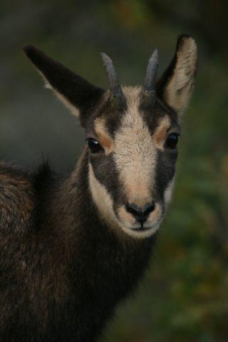 Portrait d'un jeune chamois
